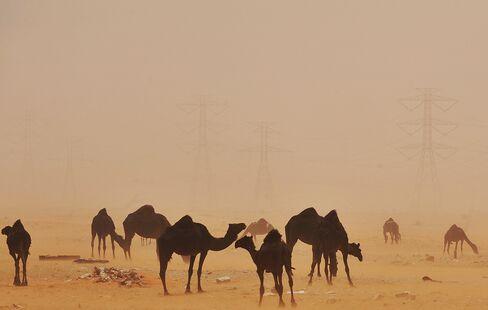 Camels Stand in the Desert in Saudi Arabia