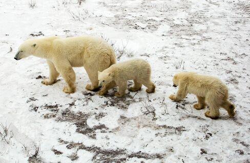 Polar Bear and Cubs in Manitoba, Canada