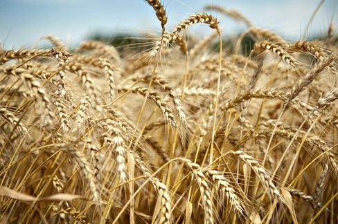Wheat Plunging as Stockpiles Climb to 10-Year High