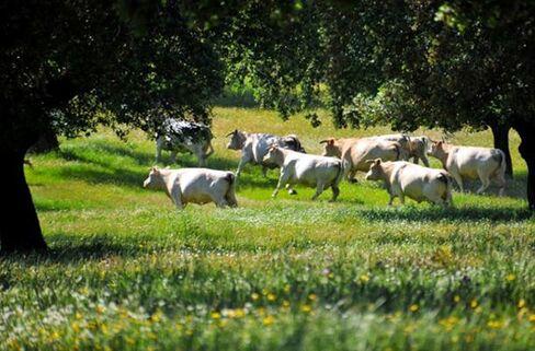 Cattle Ranch in Spain