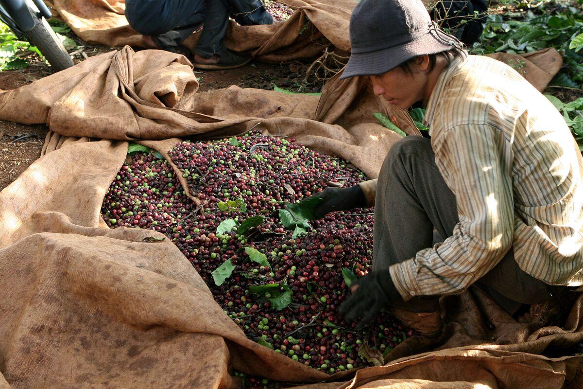 O Vietnã é o maior produtor da variedade robusta, muito utilizada para a produção do café instantâneo (Foto: Arquivo)