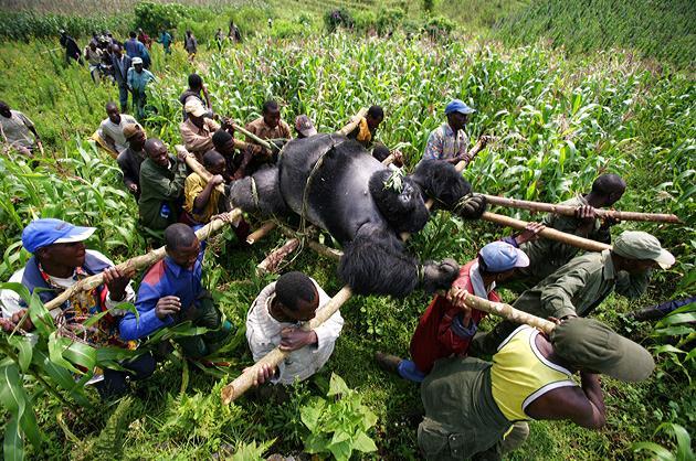 Gorillas' Bodies Recovered