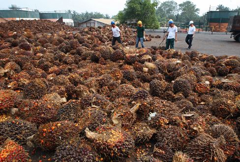 Harvested Oil Palm Fruit