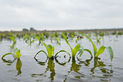 Rain-Delayed U.S. Corn Farmers Prefer Sowing Late to Idling Land