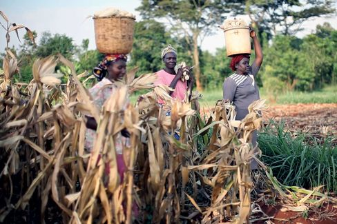 Farmers in Kenya harvest corn from Monsanto's Water Efficient Maize for Africa project.<br /><br /><br /><br /><br /><br /><br />