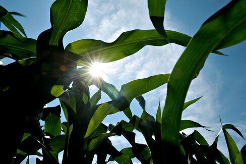 Twin Corn Ears Push U.S. Yields to Bin-Busting Crop