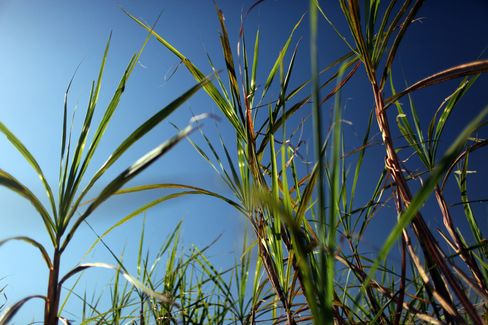 Sao Martinho Poised to Lead Sugarmakers Profit