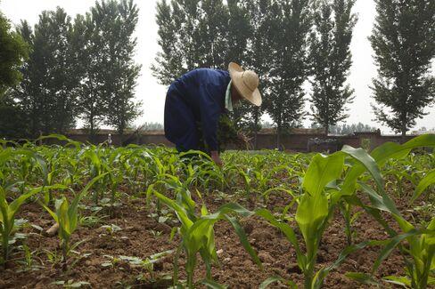 Corn farm in Beijing
