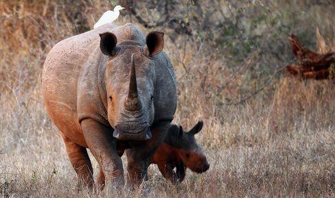 Junk Drug Craze Means Three Dead Rhinos a Day
