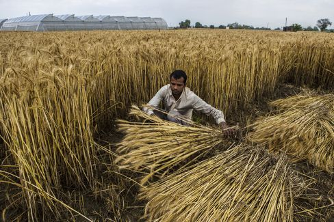 Wheat Bears Multiply as Prices Slump Most Since '11