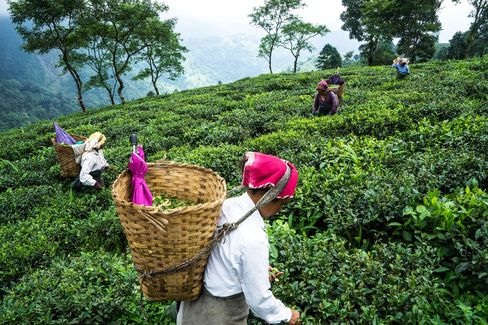Workers hand-pick tea leaves on the Makaibari Tea Estate in Kurseong, West Bengal, India.