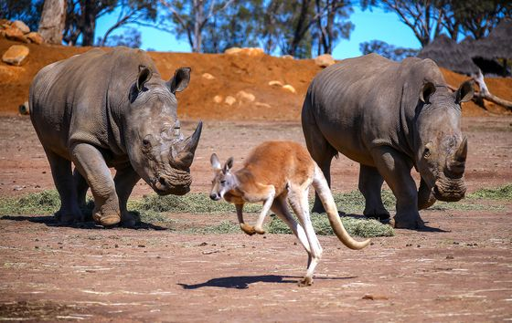 Sydney Elite Opt to Camp With Rhinos With Mediterranean Off Limits