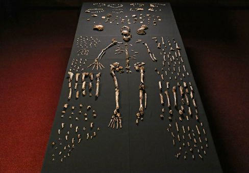 The skeleton of Homo naledi is pictured in the Wits bone vault at the Evolutionary Studies Institute at the University of the Witwatersrand, Johannesburg, South Africa.