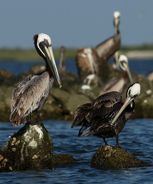 A pelican tries to clean its wings