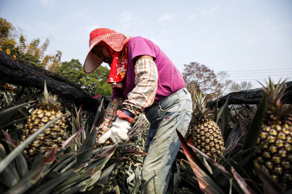 A farmer harvests pineapples at a plantation in Nantou County, Taiwan.