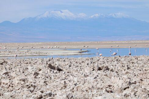 Flamingos feed in the Chaxa lagoon.