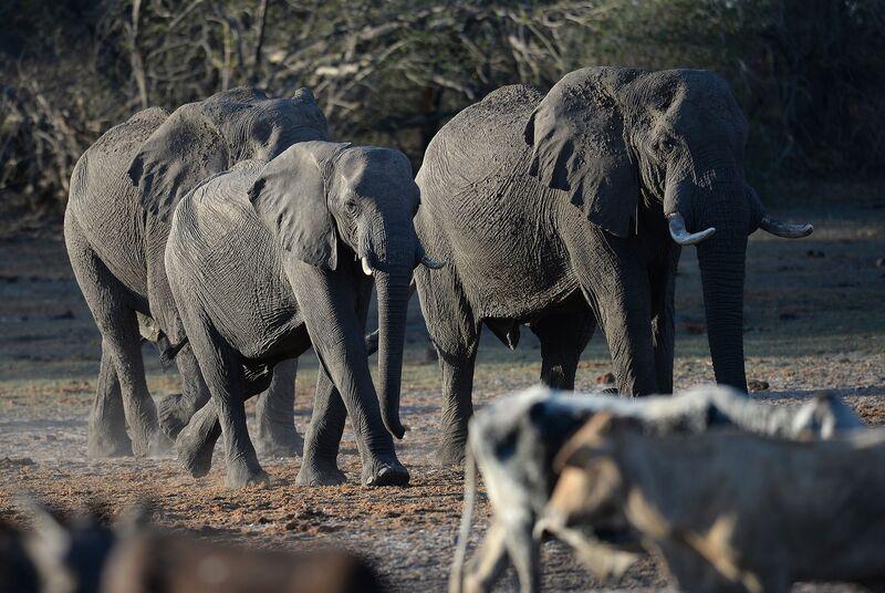 Elephants near the Nxaraga village on the outskirts of Maun, Botswana.
