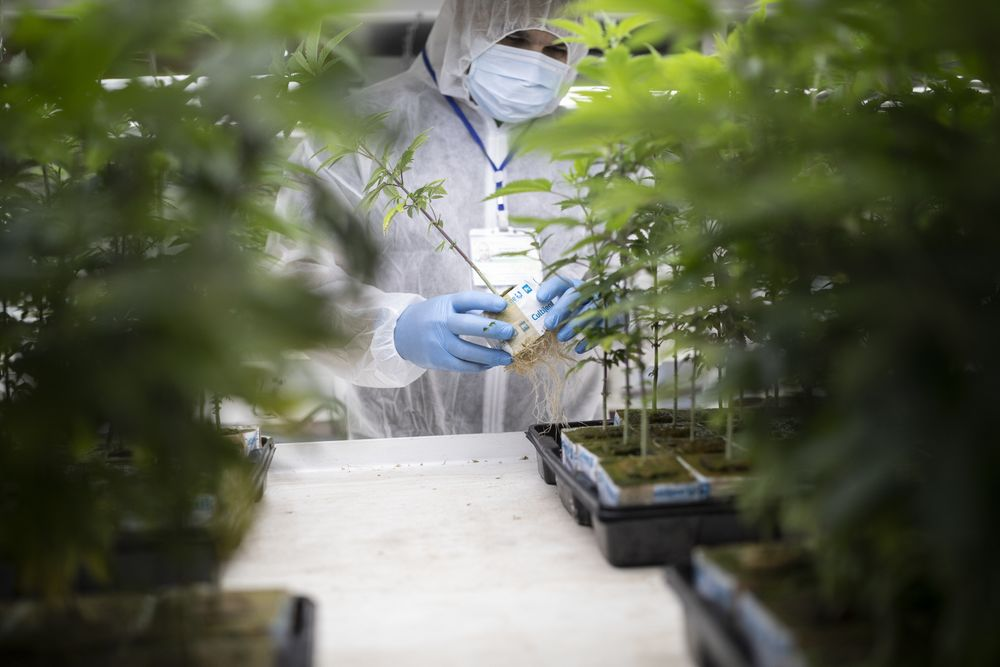 Pot Stock Rout Rivals Dot-Com Bust - Bloomberg