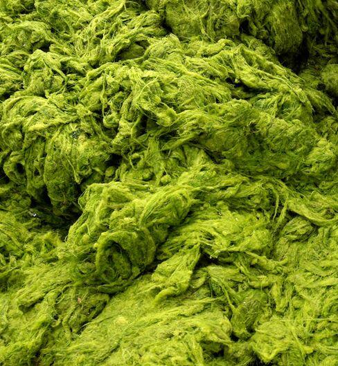 U.S. to Invest $14 Million for Algae Biofuels