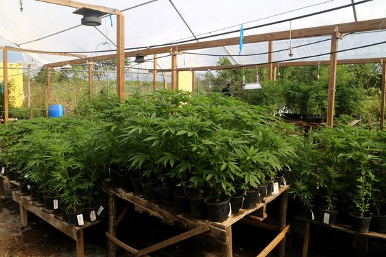 This Jamaica Weed Farm Is Thriving, Despite Short Sellers' Doubts