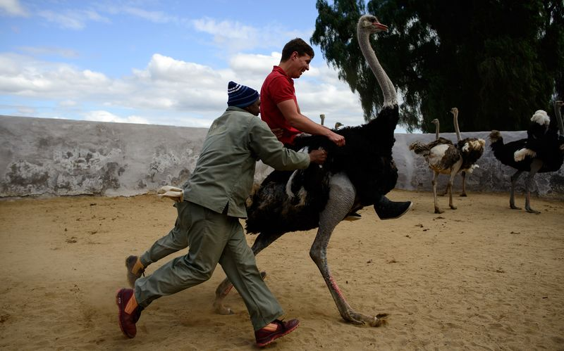 BirdRiding Loses Luster In South Africas Ostrich Capital Bloomberg - Capital of south africa