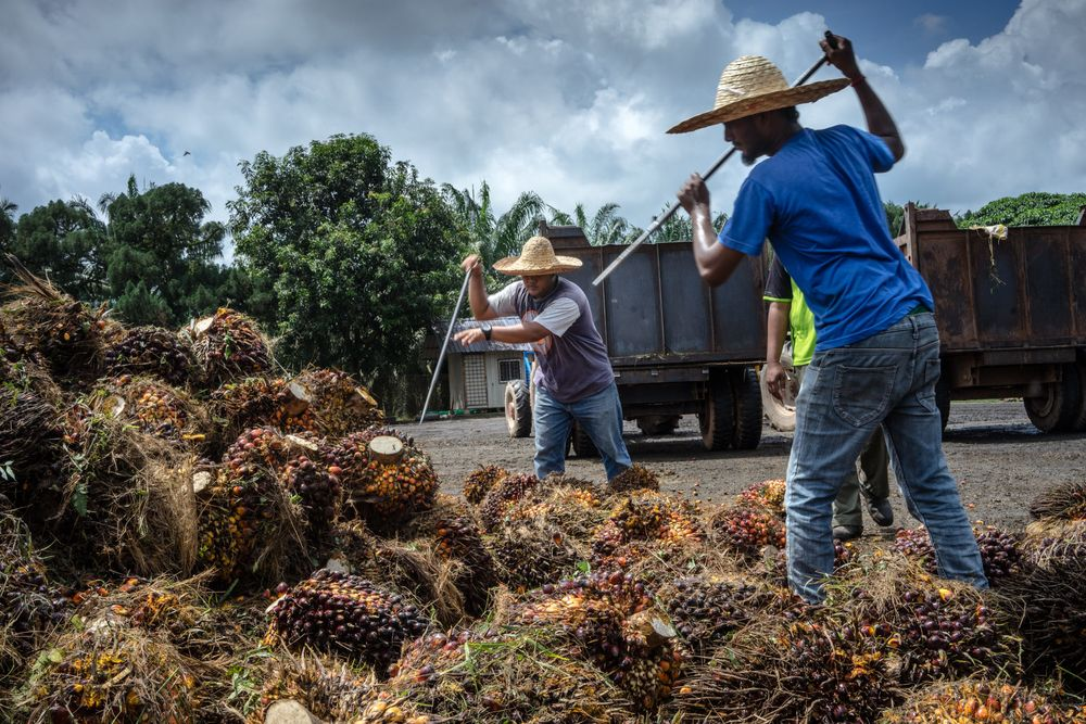 Workers use palm fruit spears to remove bad bunches from a pile in Pahang, Malaysia.