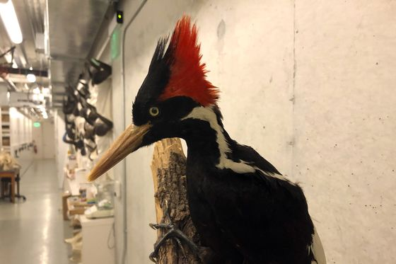 Ivory-Billed Woodpecker and 22 Other Species Declared Extinct