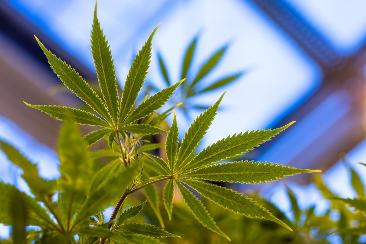 Cannabis Executives, Investors See Asia Saying 'Yes' to Pot