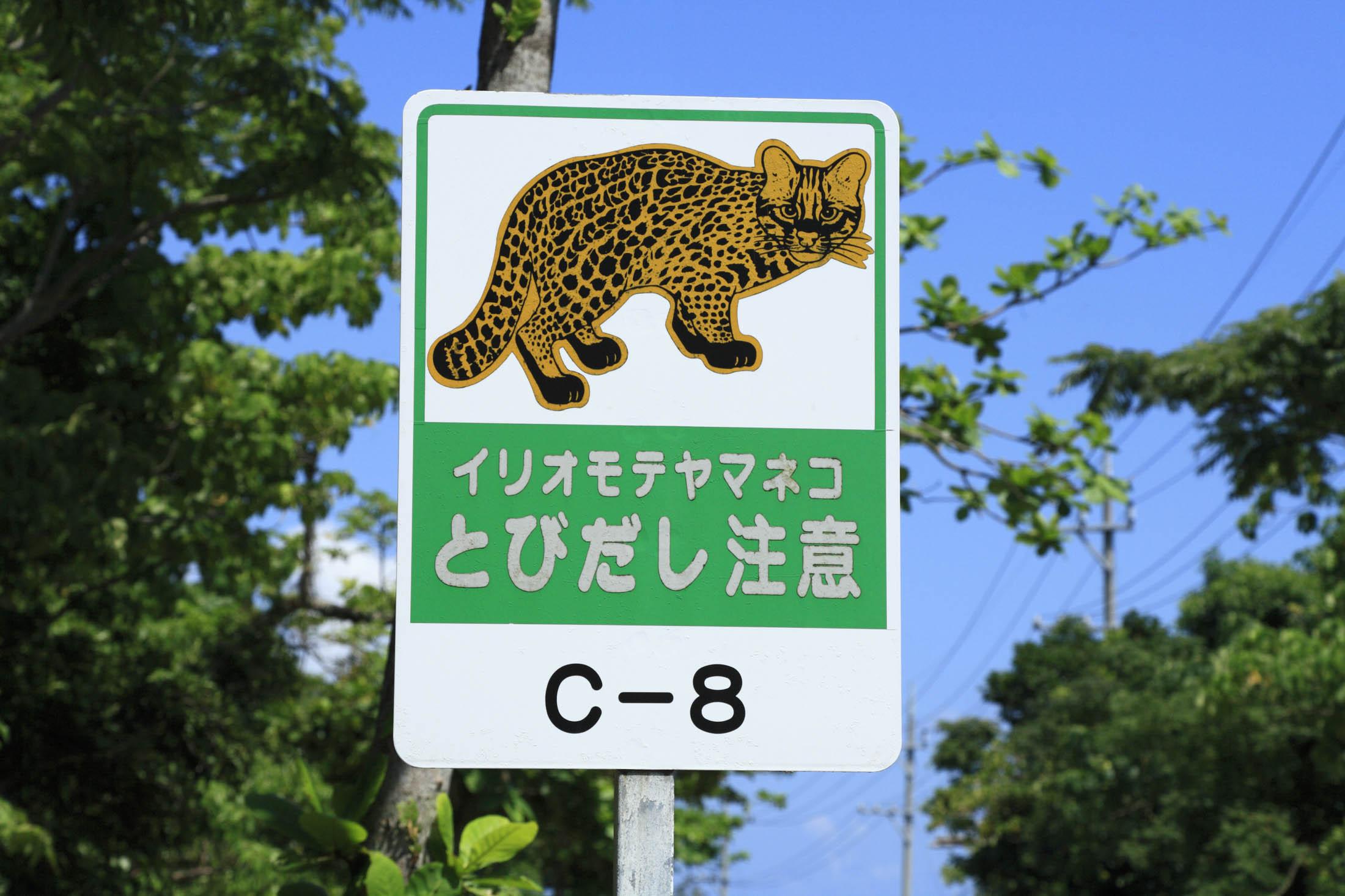 Iriomote Wild Cat
