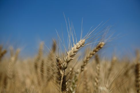 Farmers Harvest Wheat As Japan Releases Revised 1Q GDP Figures