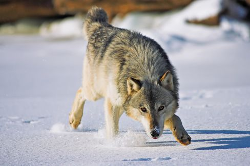 Wolves Shot From Choppers Shows Oil Sands Harm Beyond Pollution