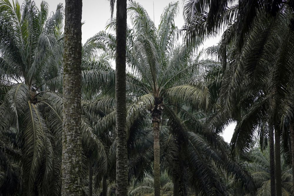 Nigeria Targets Raising Palm Oil Production Sevenfold By