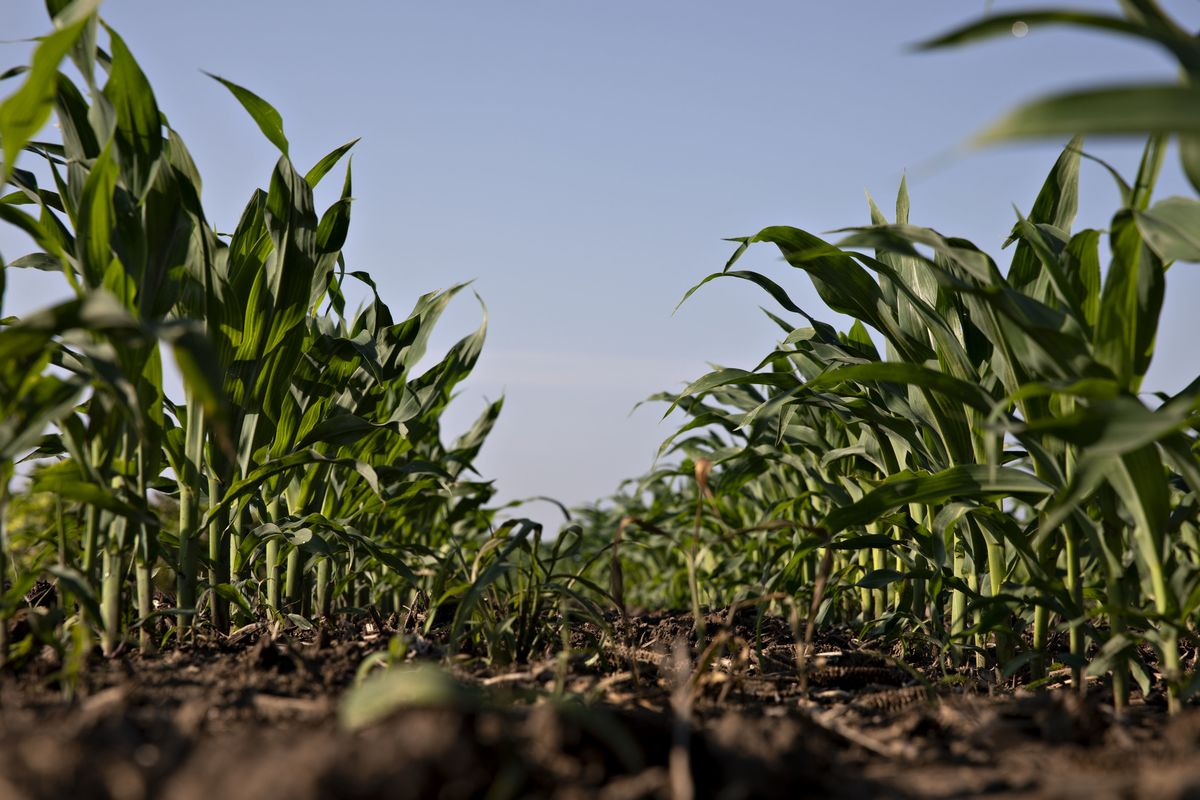 Zambian Farmers Oppose Controls to Subdue Record Corn Prices