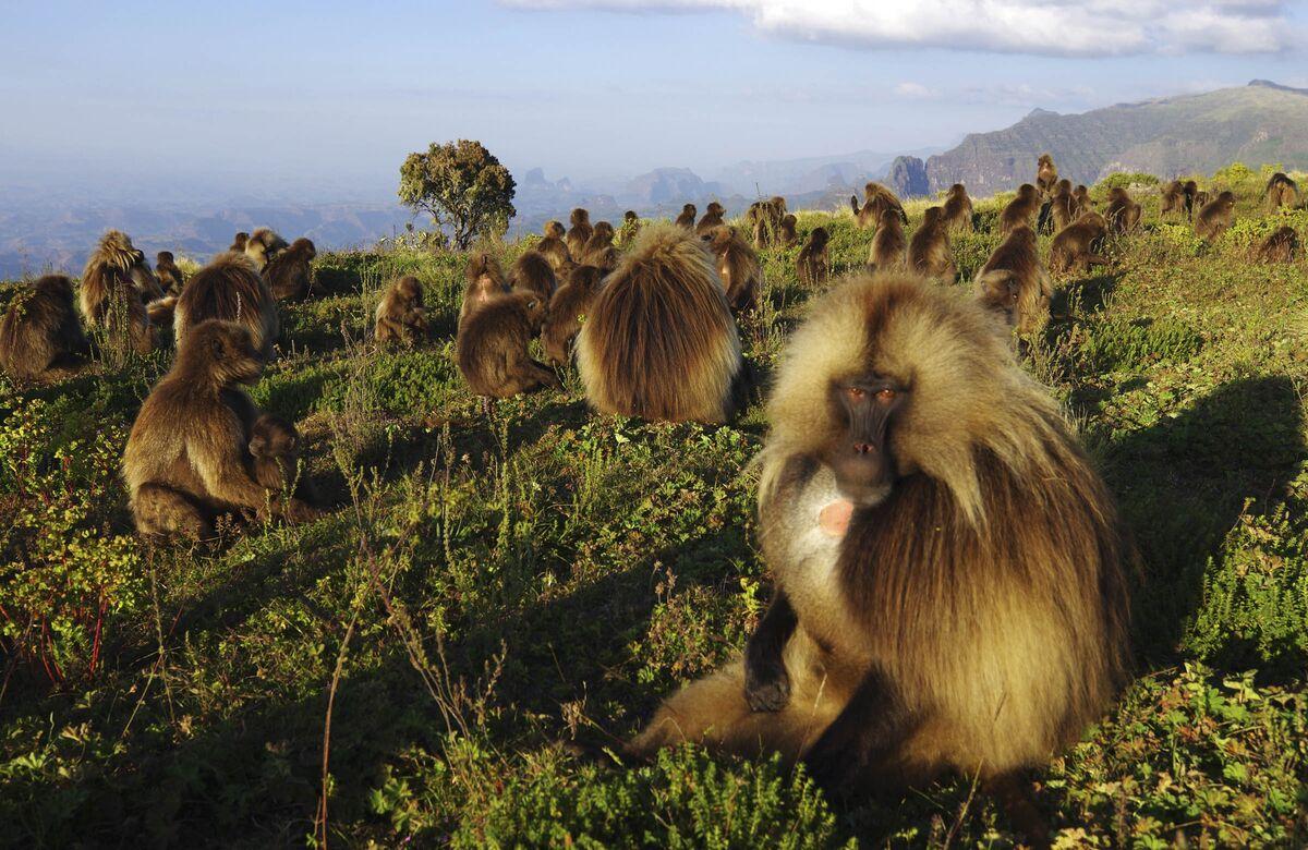 Gelada baboons at Sankaber