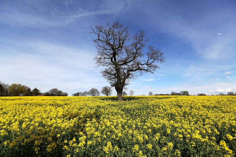 Europes biodiesel plight is bad news for its rapeseed farmers europes fields of yellow flowers may fade with diesel mightylinksfo Images