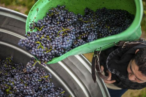 In the region of Baden, harvested pinot noir grapes are dumped into a fermenting tank. The sunny region, Germany's southernmost, is where most pinot noir is grown.