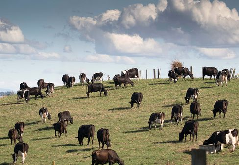 Dairy cows graze at a farm that supplies to Fonterra Cooperative in Hamilton, New Zealand.