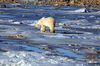 RF polar bear climate arctic