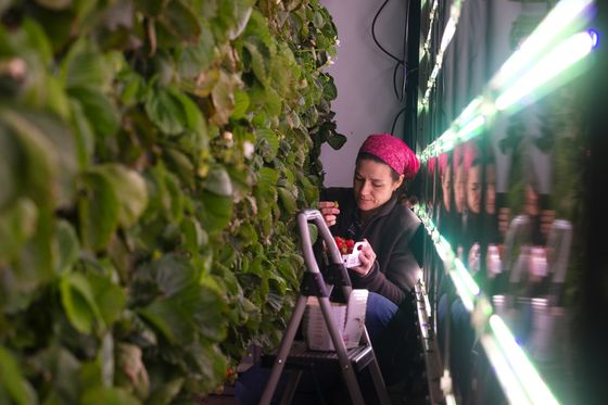 'Made in Quebec' Strawberries Offer Hope for Food Autonomy