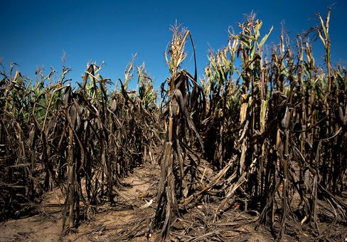 Corn Belt Shifting North With Climate as Crop Withers in Kansas