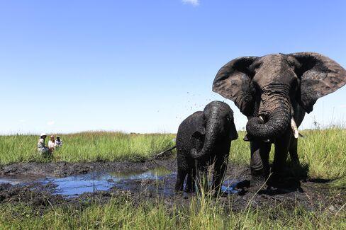 Elephants at Abu Camp.