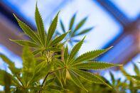 Marijuana Drug That's Made in England