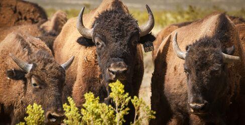 American Bison at Ladder Ranch, Sierra County, N.M.