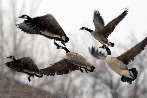 1502693778_canadian geese