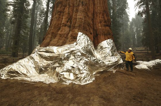 Sequoias Burn and Four Are Injured in California Wildfire