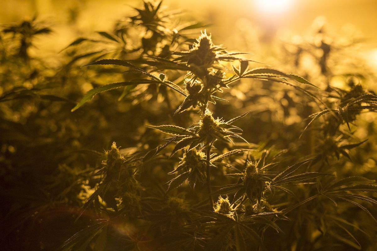 Marijuana's Female Pioneers Are Being Pushed Aside in the Legal Weed Boom