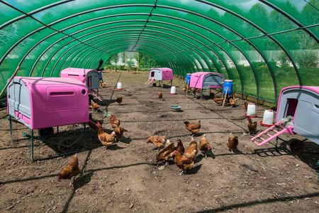Rhode Island Red chickens at The Clink gardens at HMP Send.