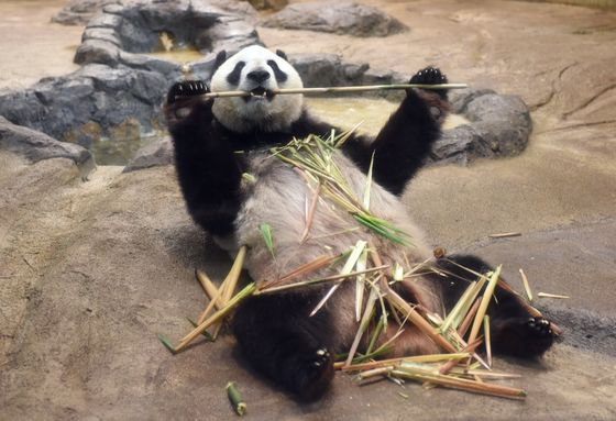 Restaurant Stock Leaps 29%on Report of Panda Pregnancy at Tokyo Zoo
