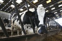 These Face Masks for Cows Have Nothing to Do with Coronavirus