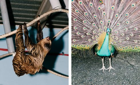 A two-toed sloth (left) and a peacock.